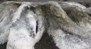 Enorm harig zeemonster aangespoeld in Siberië. Wat zou dit kunnen zijn?